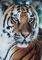 TigreBleu