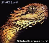 atheris_hispidus
