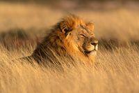 liontigre
